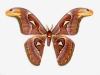 Attacus atlas (mâle)